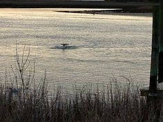 "We were fortunate to get a picture today of the tail of one of the ""Beaufort Dolphins"" swimming in Taylor's Creek. That's the beauty of the waterfront in Beaufort, North Carolina! (Photo by David Cartier)"