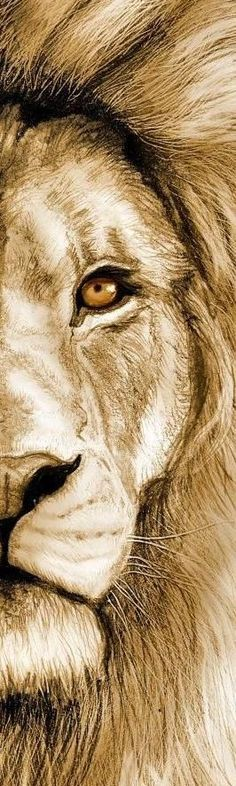 Lion of Judah Prophetic Art. Gallery For > Half Lion Face Lion And Lioness, Lion Of Judah, Leo Lion, Animal Drawings, Art Drawings, Lion Love, Lion Painting, Lion Art, Lion Tattoo