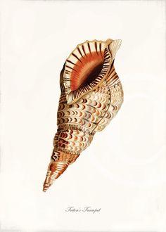 Antique+Sea+Shell+Fine+Art+Print++5+x+7++Triton's+by+1001treasures,+$10.00