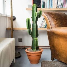 Catus Plants, Indoor Cactus Plants, Grand Cactus, Tall Cactus, Cactus Cactus, Suculentas Interior, Cactus Care, Living Room Plants, Container Gardening