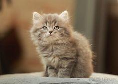 Veronica, Animals, Cat Breeds, Animales, Animaux, Animal, Animais