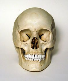 Female Human Skull, frontal view photo. Brow bone is not so prominent as in the male skulls but more around the underside of the eyes.