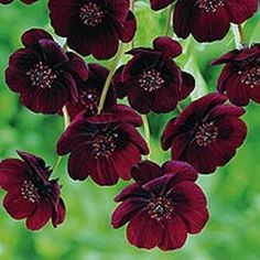 Chocolate cosmos. The flowers smell like chocolate.