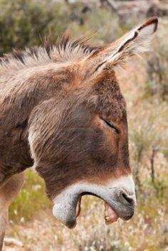 So tired! A yawning Wild Burro Donkey in Nevada Desert