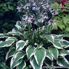 Hosta Antioch The bold green leaves have striking white margins and form a tidy mound, topped by beautiful lavender flowers in summer. A real beauty. (Hosta)