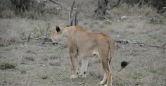 Francois and Darryn came across a lioness roaring at Africa on Foot Camp in the Klaserie Game Reserve of Kruger. Click on the link to watch the video #africaonfoot #africa #safari #wildlife #lioness #animals #gameviewing