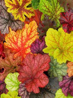 pumpkinseason:  Huechera Leaves