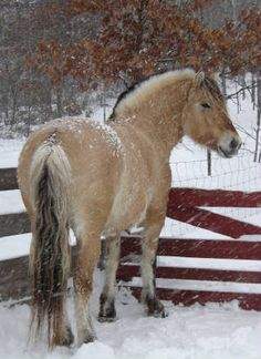 I'm looking for any fjord horse I will pay as much as needed I have a farm of them. Let me know plz Animal Pick, Fjord Horse, Super Cute Animals, Horse Drawings, Draft Horses, Horse Breeds, Wild Horses, Winter Scenes, Zebras