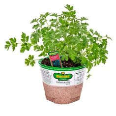 Bonnie Plants, 4 in. Parsley-Italian, 162 at The Home Depot - Tablet