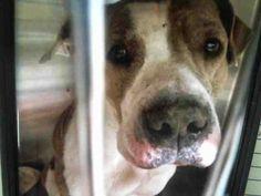 American Pit Bull Terrier dog for Adoption in Tavares, FL. ADN-718454 on PuppyFinder.com Gender: Female. Age: Adult