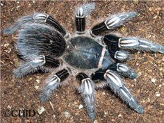 Costa Rican Zebra Tarantula - Aphonopelma seemanni - Stanislav Gorb & colleagues at the Max Planck Institute found this species of tarantula not only uses its spinnerets to produce web-silk, as do other spiders, but as it climbs a pane of glass & its foot begins to slip, small nozzles secrete a viscous silken fluid that rapidly hardens &  adheres to the glass, anchoring the foot