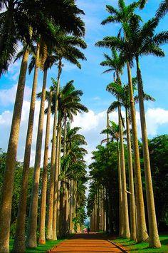 Palm tree avenue in Aburi Botanical Gardens, Ghana (by ldbaker).