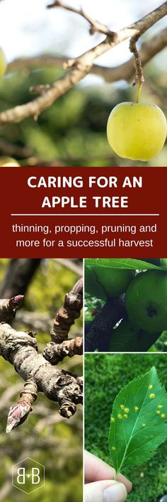 Tip #1: Thin your fruit! It's hard to do, but you really need to remove some of the growing fruit to ensure a larger, healthy harvest.