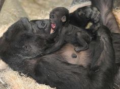 Enjoy these new photos of a baby Western Lowland Gorilla spending quality time with her mom, Koola! The female baby Gorilla, born on November 4 at Chicago's Brookfield Zoo, can be seen with her mom during the zoo's remaining Holiday. Mother And Baby Animals, Cute Baby Animals, Animals And Pets, Funny Animals, Primates, Newborn Animals, Animal Babies, Brookfield Zoo, Baby Gorillas