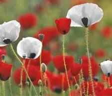 Red poppies symbolize eternal sleep (hence poppies for dead soldiers) whilst white poppies symbolize peaceful sleep