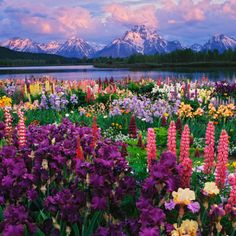 Iris and Lupine Garden and Teton Range at Oxbow Bend, Wyoming, USA... Perfect for Thayne