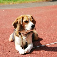 #beagle  love these dogs