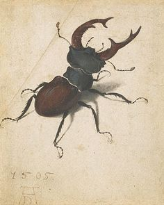 Albrecht Dürer, Stag Beetle, 1505 Watercolor on paper Getty Museum