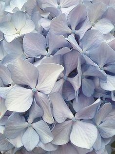 Hortensias bleus   http://flowerfieldsgallery.blogspot.com