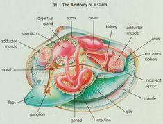 clam anatomy images