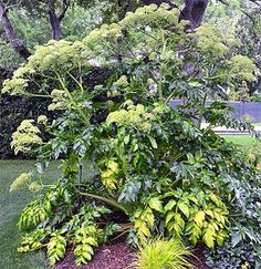 ITALAngelica keiskei koidzumiNOITAL photos courtesy of the Dallas Arboretum.