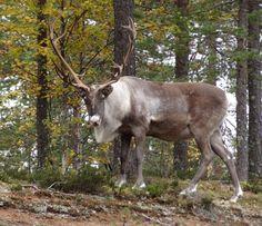 Pello - Santa Claus's reindeer land in Lapland in autumn