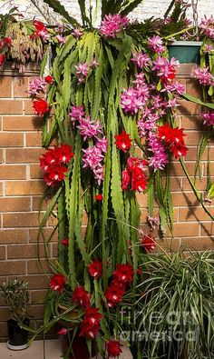 Title  Christmas Cactus   Artist  Steven Ralser   Medium  Photograph - Photography