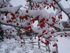 Snow covered Winter King Hawthorn