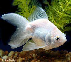 Fantail and Ryukin Goldfish for Sale Online Goldfish Types, Freshwater Aquarium, Aquarium Fish, Aquarium Ideas, Goldfish For Sale, Ryukin Goldfish, Fishing World, Salt Water Fish, Animals