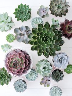 Echeveria is a type of succulent that ranges from gray-green to purple. And there are over 150 different species of echeveria! Echeveria, Crassula, Cacti And Succulents, Planting Succulents, Planting Flowers, Air Plants, Indoor Plants, Nature Plants, Green Plants
