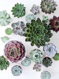 Groot, klein, grijsgroen, lila of roodachtig, glad, harig of donzig: er zijn veel verschillende Echeveria! Mooi he!