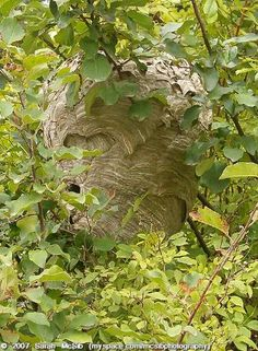 """hornet nest- haha I said """" Honey, can you get that nest for my classroom?"""" It was not a pretty sight!!! he looked like Winnie the Pooh fighting off a bee swarm.  He lived.... poor hubs!!!"""