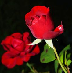 Most beautiful red roses hd wallpapers 500 beautiful rose pictures transpa background light pink rose library of photos flowers Rose Flower Hd, Rose Flower Pictures, Flower Images, Good Morning Images, Photo Fleur Rose, Rose Images Hd, Heart Images, Beautiful Rose Flowers, Amazing Flowers