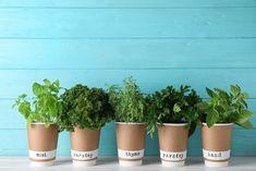 Parsley, Basil, Planter Pots, Mint, Garden, Garten, Lawn And Garden, Gardens, Gardening