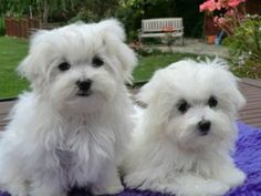 """""""We come to play with other little dogs!"""" #dogs #pets #Maltese Facebook.com/sodoggonefunny"""