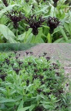 Montana, Black Flowers, Purple And Black, Yard, Blueberry, Plants, Moon Garden, Flathead Lake Montana, Patio