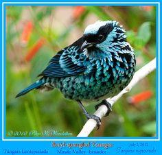 Beryl-Spangled Tanager  -    (Tangara nigroviridis) in the Mindo Valley Area of Northwestern Ecuador.