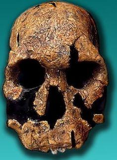 Homo rudolfensis. 1,9 millones de años Descubierto en Turkana por Leakey. Se ha relacionado con Homo Hábilis, y con Kenianthropus.