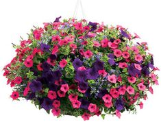 """Laguna™ Sky Blue  Lobelia erinus  Qty:1  Spiller  Supertunia® Royal Velvet  Petunia hybrid  Qty:2  Filler  Supertunia® Vista Fuchsia  Petunia hybrid  Qty:1  *This recipe assumes that 4.5"""" plants are being used. To make the recipe work using larger plants, you will need to choose a pot that is larger than our suggested size or use fewer plants of each variety in the recipe."""