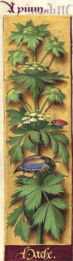 Hache - Apium (Levisticum officinale K. = livèche) -- Grandes Heures d'Anne de Bretagne, BNF, Ms Latin 9474, 1503-1508, f°96v
