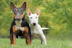 Miniature Bull Terriers