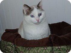 Stafford, VA - Snowshoe. Meet Deja Vu, a cat for adoption. http://www.adoptapet.com/pet/12545616-stafford-virginia-cat