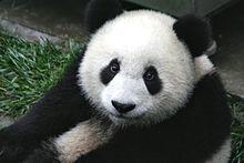 A giant panda, China's most famous endangered and endemic species, at the Wolong National Nature Reserve in Sichuan.