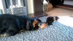 New Zealand Huntaway Dog and Kitten-Kobi and TigerLily Day 2 http://naglly.com/archives/2014/07/dog-meets-kitten.php