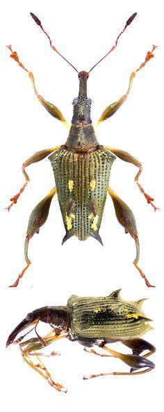 Amylopterus prasinus