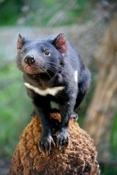 Photo about Tasmanian Devil photoed in Tasmainia, Australia. Image of sarcophilus, tasmania, carnivorous - 4117509 Reptiles, Mammals, Funny Animals, Cute Animals, Wild Animals, Rats, Wildlife Tourism, Australia Animals, Tasmanian Devil