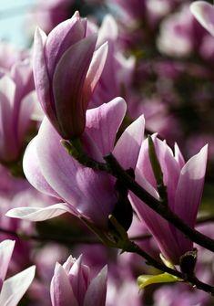Magnolien-Baum auch im kleinen Garten: Ein Blütentraum im Frühling #Garten #Baum #Frühling