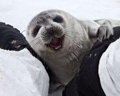 Curious young ribbon seal