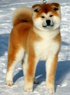 """Click visit site and Check out Hot """"Akita Dog"""" T-Shirts & Hoodies. This website is excellent. Tip: You can type """"your first name"""" or """"your favorite shirts"""" by using search bar on the header. Akita Inu Puppy, Akita Puppies, Cute Puppies, Dogs And Puppies, Shiba Inu, Chien Akita Inu, Japanese Dog Breeds, Japanese Dogs, Beautiful Dogs"""