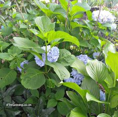 Hydrangea plants will give you an endless summer of flowers.